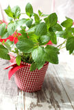 Mint herb growing in a pot on wooden background Stock Image