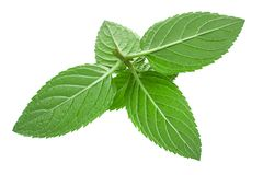 Mint herb leaf  on white Stock Photography