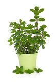 Mint Herb Plant Royalty Free Stock Photos