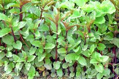 Mint Herb Plant Home Gardening Planting Stock Photo. Mint Herb Plant Home Gardening and Planting Stock Photo stock photo