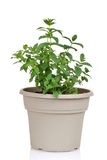 Mint herb in a pot Royalty Free Stock Photo