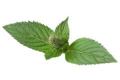 Mint herb on white Stock Photos
