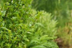 Mint in herbal garden. Royalty Free Stock Photo