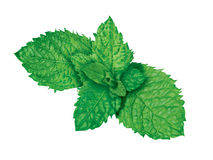 Mint illustration. Fresh green mint leaves illustration royalty free illustration