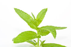 Mint On isolated white. Fresh  Green Mint Leaf On isolated white Background Royalty Free Stock Images