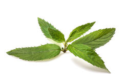 Mint. Isolated on white background. Fresh leaves Stock Photos