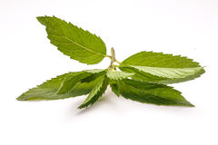 Mint. Isolated on white background. Fresh leaves Royalty Free Stock Photography