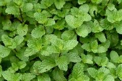 Mint, Kitchen Mint, Marsh Mint Stock Images