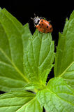 Mint and Lady Bug Royalty Free Stock Photo