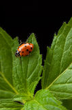 Mint and Lady Bug Royalty Free Stock Photos