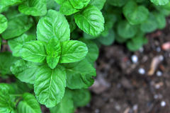 Mint - Lamiaceae. Closeup of Mint plant in kitchen herb garden; Mint Lamiaceae home gardening Royalty Free Stock Photo