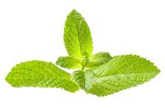 Mint leaf Stock Photography