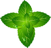Mint leaf. Vector picture of mint leaf Stock Images