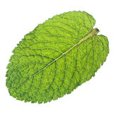 Mint leaf. Isolated macro of fresh mint leaf stock images