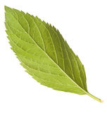 Mint leaf. Isolate on whte Royalty Free Stock Images