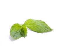 Mint leaf Stock Photography