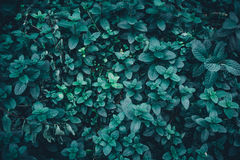 Mint leaf background Royalty Free Stock Image