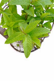 Mint leaf in basket Stock Photography