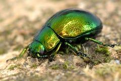 Mint leaf beetle (Chrysolina herbacea) Stock Photo