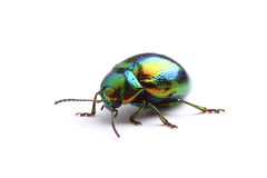 Mint Leaf Beetle (Chrysolina herbacea) isolated on white Stock Photography