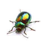 Mint Leaf Beetle (Chrysolina herbacea) isolated on white Royalty Free Stock Image