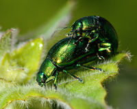 Mint leaf beetles (Chrysolina herbacea) mating Royalty Free Stock Photo