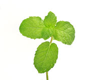 Mint leaf close up Stock Image