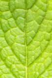 Mint leaf close up Royalty Free Stock Photos