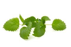 Mint leaf close up on a white background.  stock image