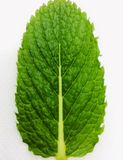 Mint leaf. Closeup of mint leaf on white background stock photography