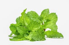 Mint leaf green plants isolated on white background stock image