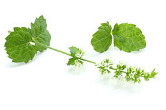 Mint leaf green plants  on white background, peppermint aromatic properties of strong teeth Royalty Free Stock Photo