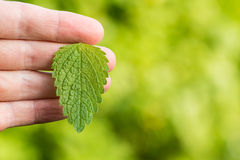 Mint leaf holded in hand Royalty Free Stock Photo