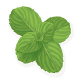 Mint leaf illustration Stock Photo