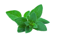 Mint leaf isolated Stock Images