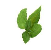 Mint leaf Stock Image