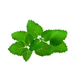 Mint leaf isolated on white Royalty Free Stock Image
