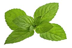 Mint leaf isolated on white. Background royalty free stock photography