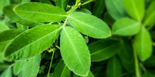 Mint Leaf Plantation stock image