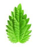 Mint leaf vector illustration Royalty Free Stock Images