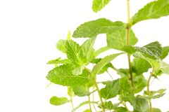 Mint leaf. On white background stock photos