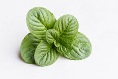 Mint leaf on white background Stock Image