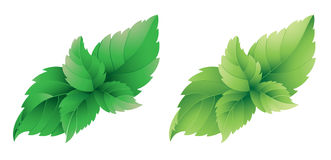 Mint leafs. Photo realistic illustration of variety of mint leafs on white background Royalty Free Stock Photo