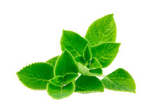 Mint leave. Isolated on white background Royalty Free Stock Photography