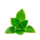 Mint leave. Isolated on white background Royalty Free Stock Images