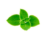 Mint leave. Isolated on white background Stock Photography