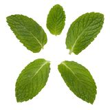 Mint Leaves. Isolated on a white background Royalty Free Stock Photography