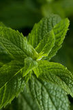 Mint leaves. Mentha piperita or mint, green leaves, selective focus shot Stock Image