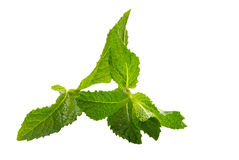 Mint Leaves. Isolated on a white background Royalty Free Stock Photos