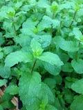 Mint leaves Royaltyfri Fotografi